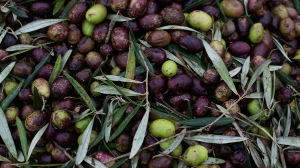 Sentos — Extra Virgin Olive Oil (10)